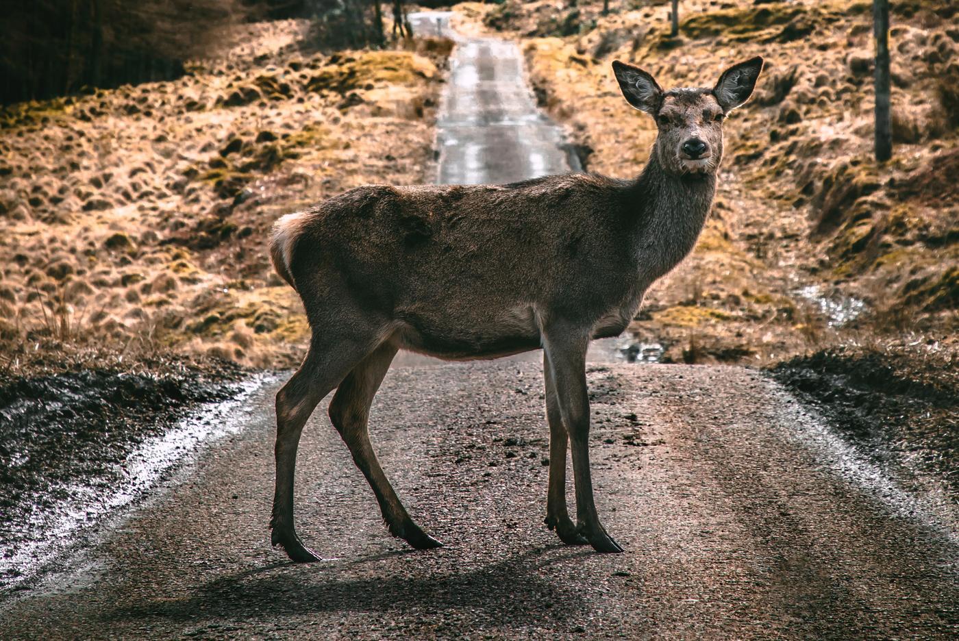 doe in the road